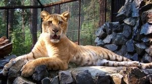 facts about ligers