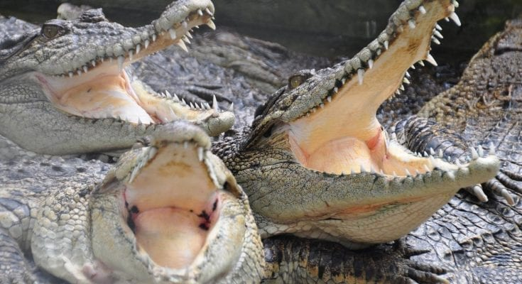 crocodile festival meaning