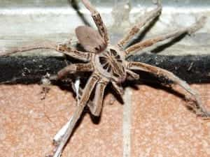 wolf spider facts
