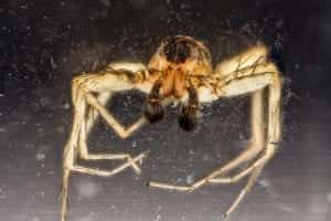 facts about wolf spiders