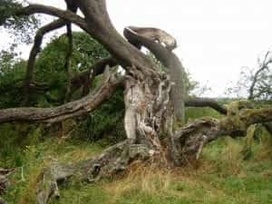 how old is the oldest tree