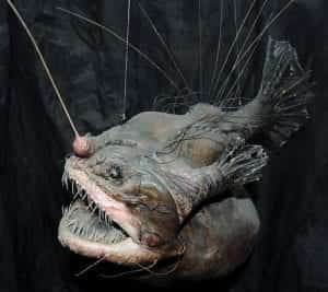 angler fish mating