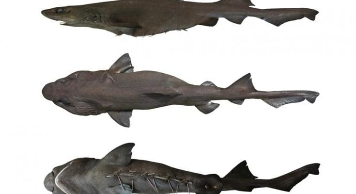 New Species Of Shark Found In Fish Market