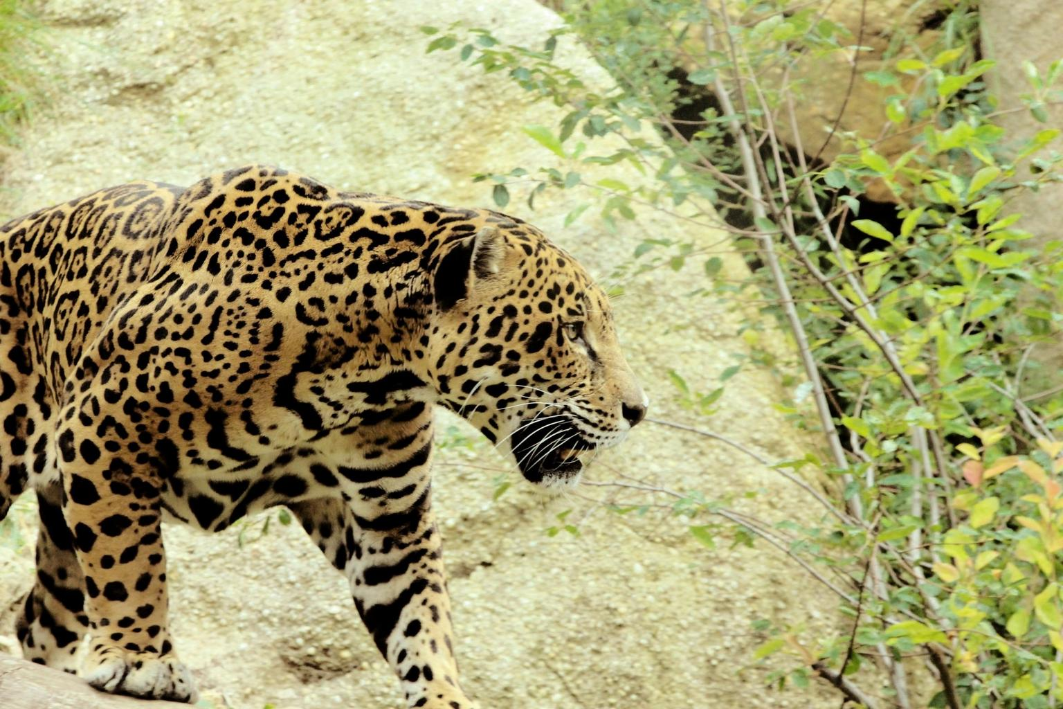 facts about jaguars
