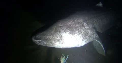 Incredible Footage Shows Rare, 500-Year-Old Sharks Swimming In The Arctic