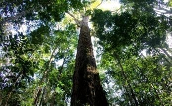 tallest tree in the amazon
