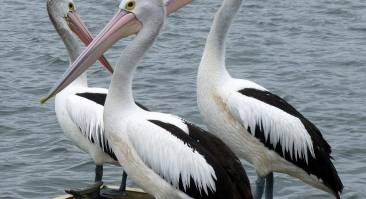 pelican facts