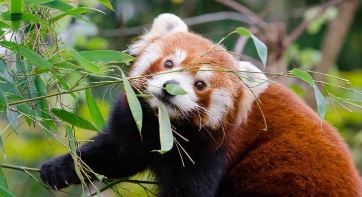 interesting facts about red panda