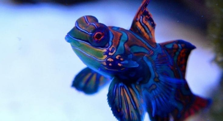 mandarinfish facts