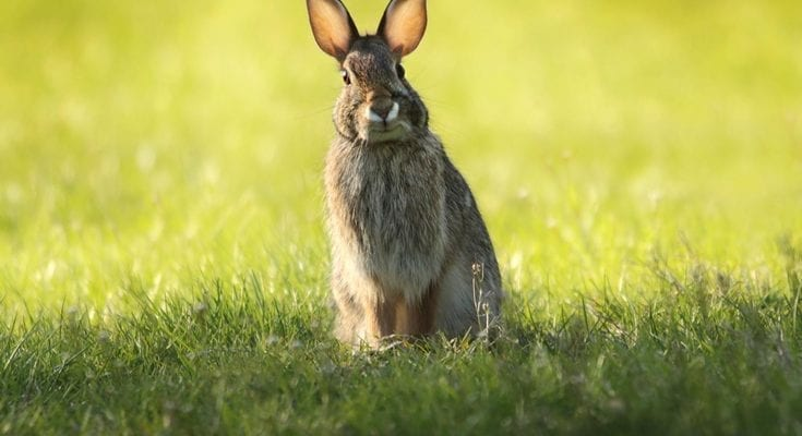 what is the difference between a bunny and a rabbit