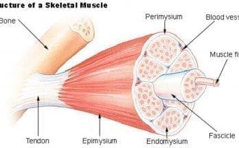 interesting facts about the muscular system